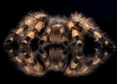 Brazilian Whiteknee Tarantula, CaptiveLight, Ringwood, Hampshire, UK
