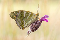 Argynnis paphia (Marcin Błoch) Tags: macro butterfly dragonfly insect magnification color flower meadow background naturallight stackfocus summer spring autumn fleeting delicate nature animal fly freedom ecology plant vivid gentle portrait field biology body grassland plenermaniak