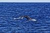 _MG_9151_DxO (carrolldeweese) Tags: kona hawaii kailuakoha kailua whale