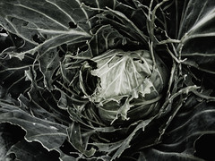 Caterpillars and Snails (Steve Taylor (Photography)) Tags: cabbage eaten ravaged black green lowkey newzealand nz southisland canterbury christchurch northnewbrighton vegetable leaves summer