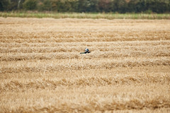 Sigma 150-600mm Sport F5 - 6.3 Lens EF Canon 1DX Mkii (iamjoeyphoto) Tags: bird wildlife nature sigma canon ef 150600mm sport 1dx mkii mark 2 camera dslr peterborough test hsm telephoto