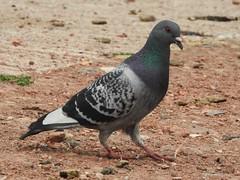 Pigeon (Simply Sharon !) Tags: pigeon bird wildlife britishwildlife nature thryberghcountrypark