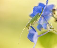 Katydid, She Didn't (Kathy Macpherson Baca) Tags: animal bug insect katydid summer hot humid singing earth grasshopper planet preserve green world nature flowers