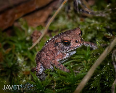 Juvenile European Common Toad-Bufo bufo-7145 (George Vittman) Tags: animal toad frog europe nikonpassion wildlifephotography jav61photography jav61 water marsh