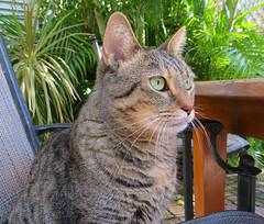 Key West (Florida) Trip 2017 7969Ri (edgarandron - Busy!) Tags: coco cat cats kitty kitties tabby tabbies cute feline florida keys floridakeys keywest authorsofkeywest