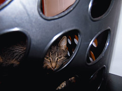 DSC01255 (MykeOwns) Tags: tabbycat tabby cat cats