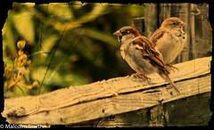 Two Little Birds (M C Smith) Tags: garden pentax k3ii fence bokeh buds green brown white grey folded distressed birds two
