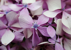 Hydrangea blossoms, white to purple (Monceau) Tags: jersey purple white macro bokeh hydrangea blossoms flowers pasttheirprime fading
