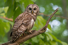 Barred Owl (Jesse_in_CT) Tags: barredowl owl nikon