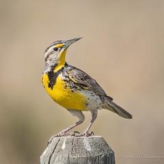 Western Meadowlark (Turk Images) Tags: sturnellaneglecta westernmeadowlark birds icteridae leader meadowlark saskatchewan weme prairies spring