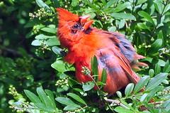 DSC_0545 (RachidH) Tags: birds oiseaux snow cardinal redbird northerncardinal cardinaliscardinalis cardinalrouge sparta nj rachidh nature