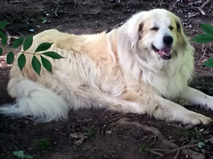Sadie (BrennytheKid94) Tags: dog pet greatpyrenees white great sadie 2018 outdoors animal mammal fun cute fur photography petphotography adorable flickr follow favorite award comment awesome
