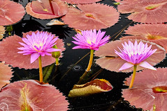 Three waterlilies. (bkkay1) Tags: waterlily