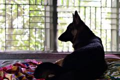 shontababa... (Benaami) Tags: nikon nikond610 nikkor natural naturallight nikkor50mm14afd nikon50mm14 nikon50mmf14afd d610 dog gsd german gsdpuppy shepherd window watching bokeh