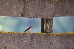 Pigliamosche          Spotted Flycatcher (lucamarasca1) Tags: wild bird birds birdwatching altoadige südtirol wildlife nikond5500 nikon nature