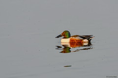 Shoveler (Corine Bliek) Tags: waterfowl bird birds vogel vogels natuur nature wildlife lake meer water watervogels eend eenden duck ducks waterbird spatulaclypeata