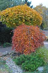 Triple color / Trikolore / Drei Herbstfarben (Manfred_H.) Tags: pflanzen plants bäume büsche trees herbst autumn farben colors garden garten
