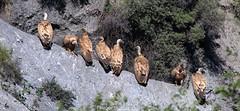 Vautours fauves (fauneetnature) Tags: vulture vautour vautourfauve griffonvulture ornithology ornithologie oiseau maurienne montagne mountain mountainanimals animalier animauxmontagne savoie
