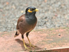 Common Myna (SivamDesign) Tags: canon eos 550d rebel t2i kiss x4 300mm tele canonef300mmf4lisusm bird fauna common indian myna commonmyna acridotherestristis