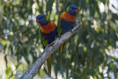 Double Rainbow (SteveKPhotography) Tags: sony stevekphotography alpha a99ii ilca99m2 sal70400g2 bird avian animal wildlife nature outdoors rainbowlorikeet trichoglossushaematodus westernaustralia