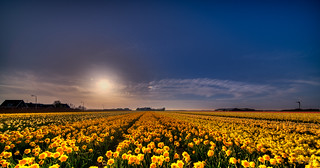 Countless daffodils enjoying their evening.