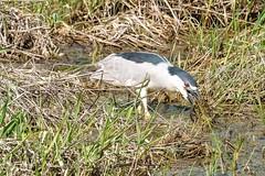 2017 Black-crowned Night Heron 18 (DrLensCap) Tags: blackcrowned night heron ledge road horicon marsh national wildlife refuge waupun wisconsin wi bird robert kramer