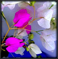 Natural Wonder (dimaruss34) Tags: newyork brooklyn dmitriyfomenko image flower bougainvillea