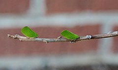 Double the Fun (Plummerhill) Tags: greenleafhopper leafhopper indiana bug branch green