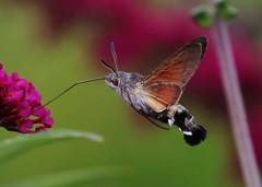 he is back (Hugo von Schreck) Tags: hummingbirdhawkmoth taubenschwänzchen macroglossumstellatarum hugovonschreck makro macro insect insekt moth canoneos5dsr tamron28300mmf3563divcpzda010 yourbestoftoday greatphotographers