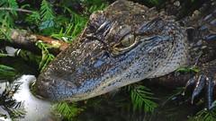 Lurking in the Cypress (Suzanham) Tags: alligator juvenile animal crocodilian reptile cypress mississippi noxubeewildliferefuge gator cypressswamp reptilian macro
