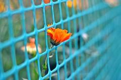 in a magical garden.... (Eggii) Tags: flower bokeh fence garden evening