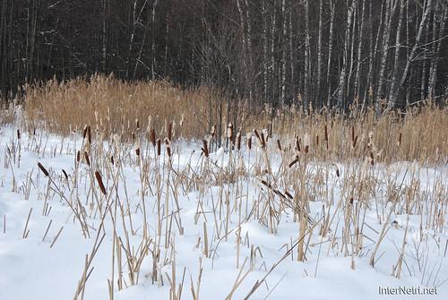 Зимовий ліс  InterNetri 26