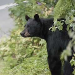 Bear Drwy Look 119 (Gillfoto) Tags: bear bearcountry blackbear garden fruit picker alaska juneau young