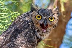 368 (gabigruia96) Tags: 7dii sigma california great horned owl