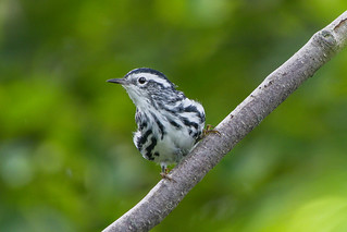 Black-and-white Warbler , Joyce's Trail to Witless Bay