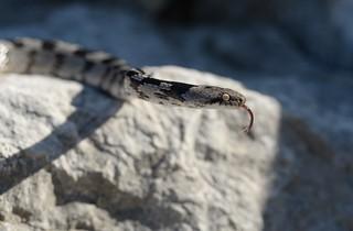 Cat Snake (Telescopus fallax) 1 of 3 images