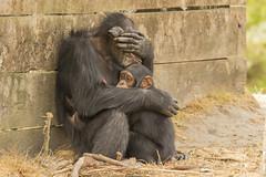 Cimpansee - Safaripark Beekse Bergen - Hilvarenbeek (Jan de Neijs Photography) Tags: dierentuin zoo tamron tamron150600 150600 dierenpark nl holland thenetherlands dieniederlande diergaarde g2 animal dier beeksebergen safaripark safariparkbeeksebergen hilvarenbeek chimpansee aap ape noordbrabant sbb