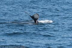 AHK_6757 (ah_kopelman) Tags: unkmncresli2018080802 2018 cresli creslivikingfleetwhalewatch megapteranovaeangliae montaukny vikingfleet vikingstarship abrasionsandentanglementscarsonpeduncle calfofunkmncresli2018070801 flukeshot humpbackwhale whalewatch