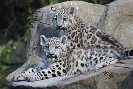 snow leopard (twins)
