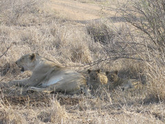 Lion and cubs after meal