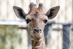 2018-07-31 (silare) Tags: food chewing eating lulu child daughter baby young animal reticulatedgiraffe giraffe giraffacamelopardalisreticulata zoo woodlandparkzoo seattle washington