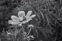 Cosmos (citrusjig) Tags: fujifilm xt1 helios44258mmf2 flowers blackandwhite toned