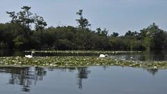 White lilies, Alde Feanen, Eernewoude, Fryslan (Alta alatis patent) Tags: aldefeanen eernewoude lily white floationg leaves couple swans landscape