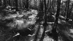 Black Woods of Rannoch 10 (ShinyPhotoScotland) Tags: perthshire scotland landscape blackandwhite rannoch highlands nature trees birch pine fujixt20 hdr light dark contrast relax flora intimatelandscape caledonianforestremnant blackwoodsofrannoch ranncoh helios58mm shadows ferns