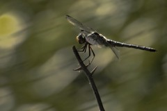 flight of fancy (courtney065) Tags: nikond200 dragonfly blurred bokeh insect winged fauna nature breeze holdingon gripping summer foliage abstract pond animal depthoffield