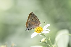 Rekoa palegon (fabriciodo2) Tags: rekoapalegon papillon macro nature sigma150 butterfly mariposa mexique