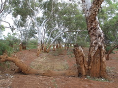 Blazed or debarked tree near billabong (spelio) Tags: australia remote wa western june 2011 pilbara travel