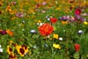 Wildflowers (libra1054) Tags: wildflowers blumen flores fiori flowers fleurs flora nature outdoor