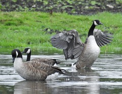 Trio of Canada Geese at Lamesley (Gilli8888) Tags: nikon p900 coolpix countryside lamesley lamesleypastures tyneandwear nature birds geese canadageese three water wetlands trio wings
