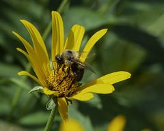 Bee_SAF3716-1 (sara97) Tags: bee copyright©2018saraannefinke flower flyinginsect insect missouri nature photobysaraannefinke pollinator saintlouis towergrovepark